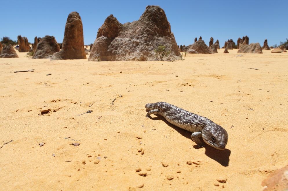 Blue tong - Pinnacles - Australie