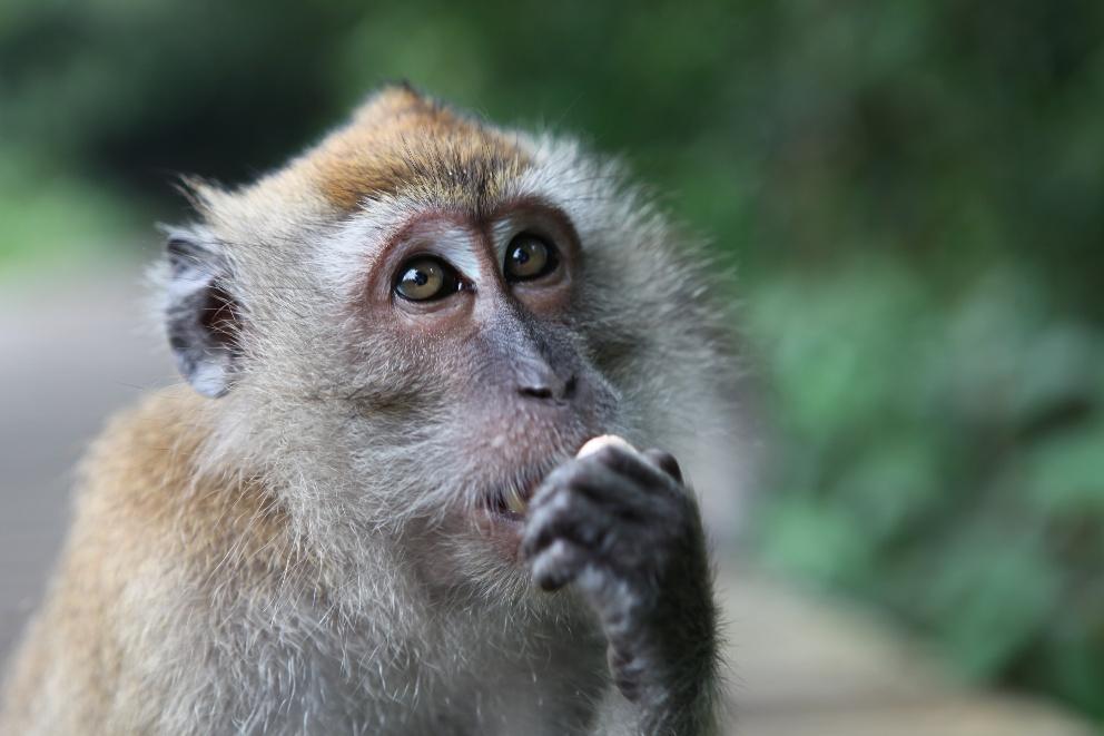 macaque - Singapour
