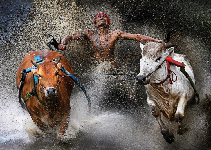Pacu Jawi (bull race)