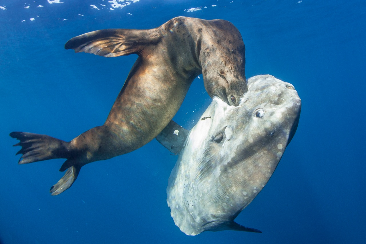 Sealion/mola
