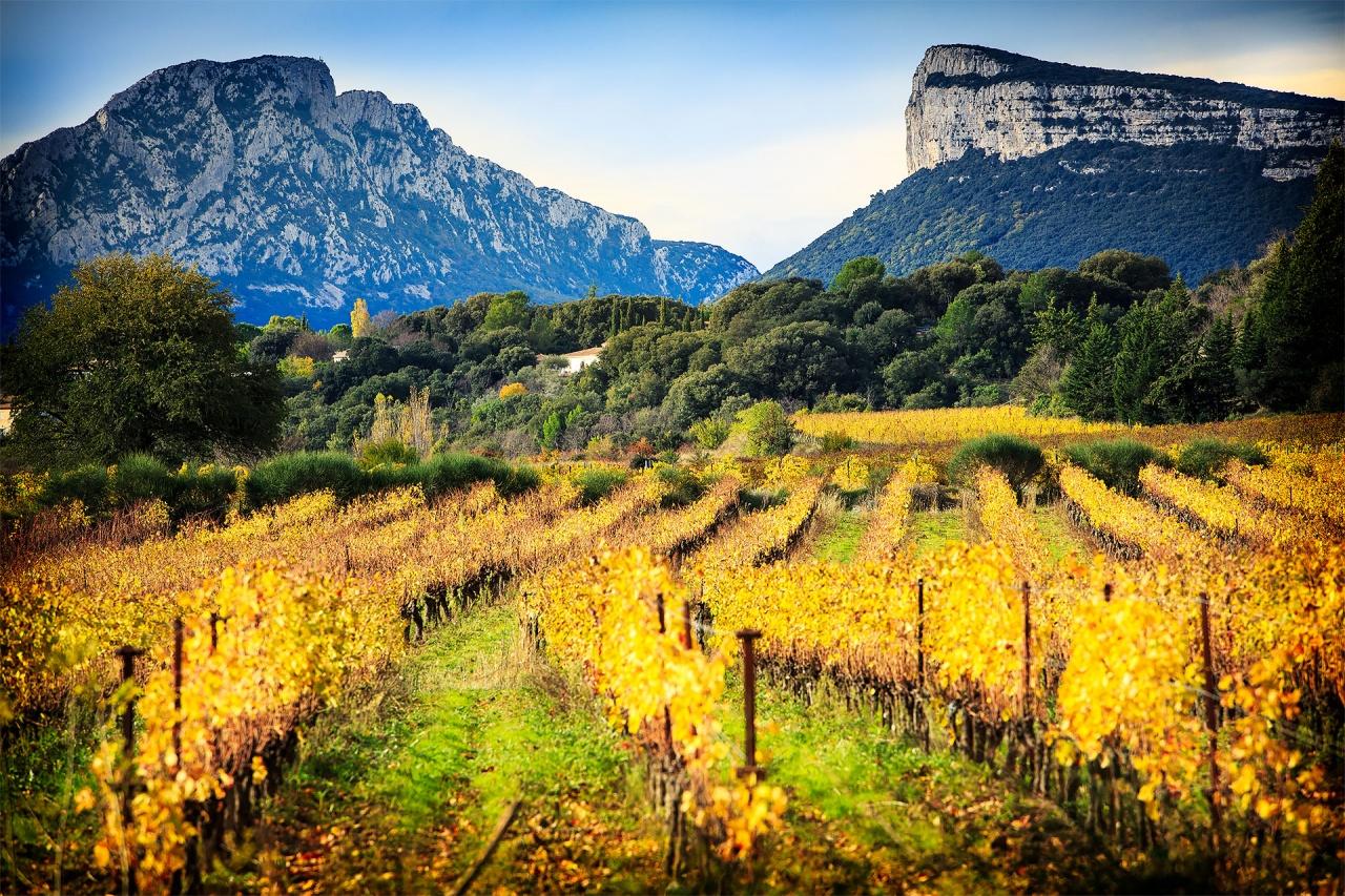 Golden grapevines