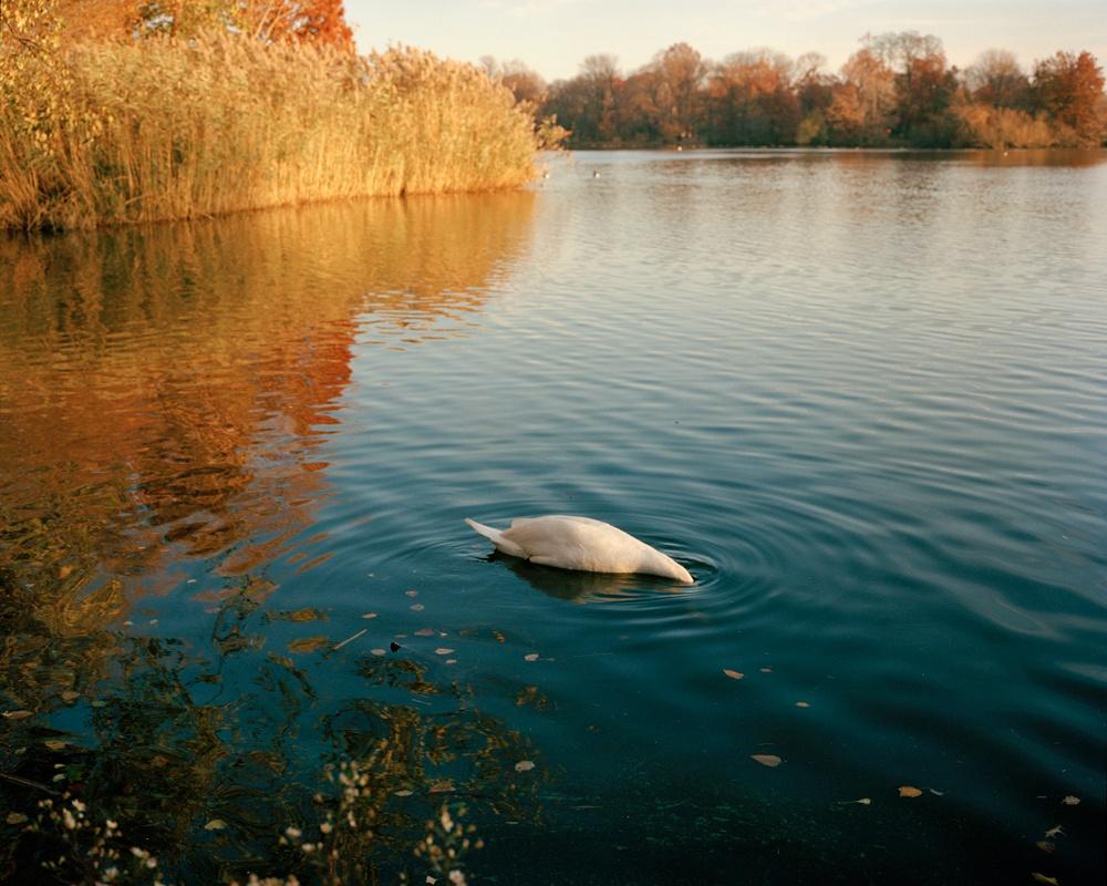 Swan, Prospect Park