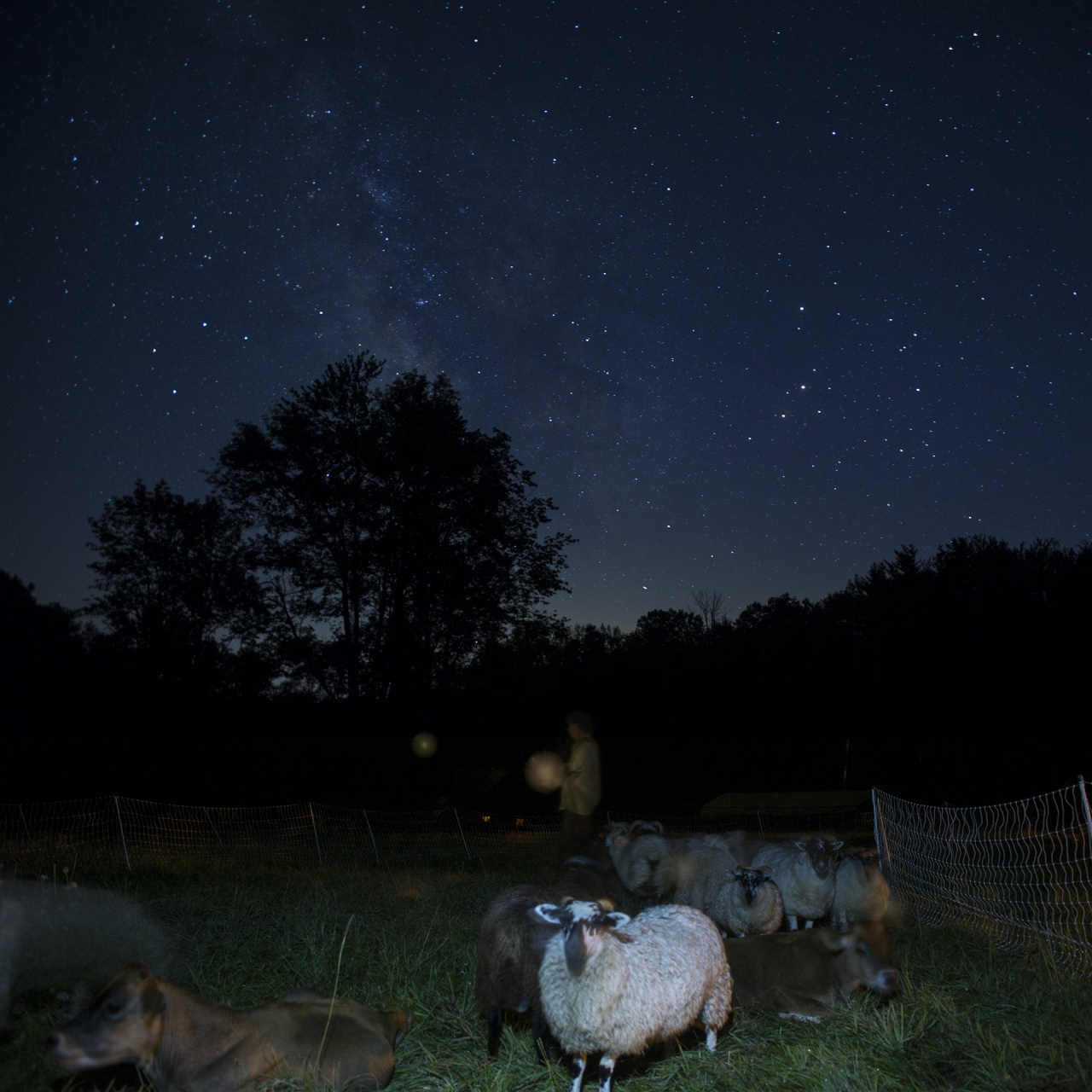 Night Grazing with Sheep