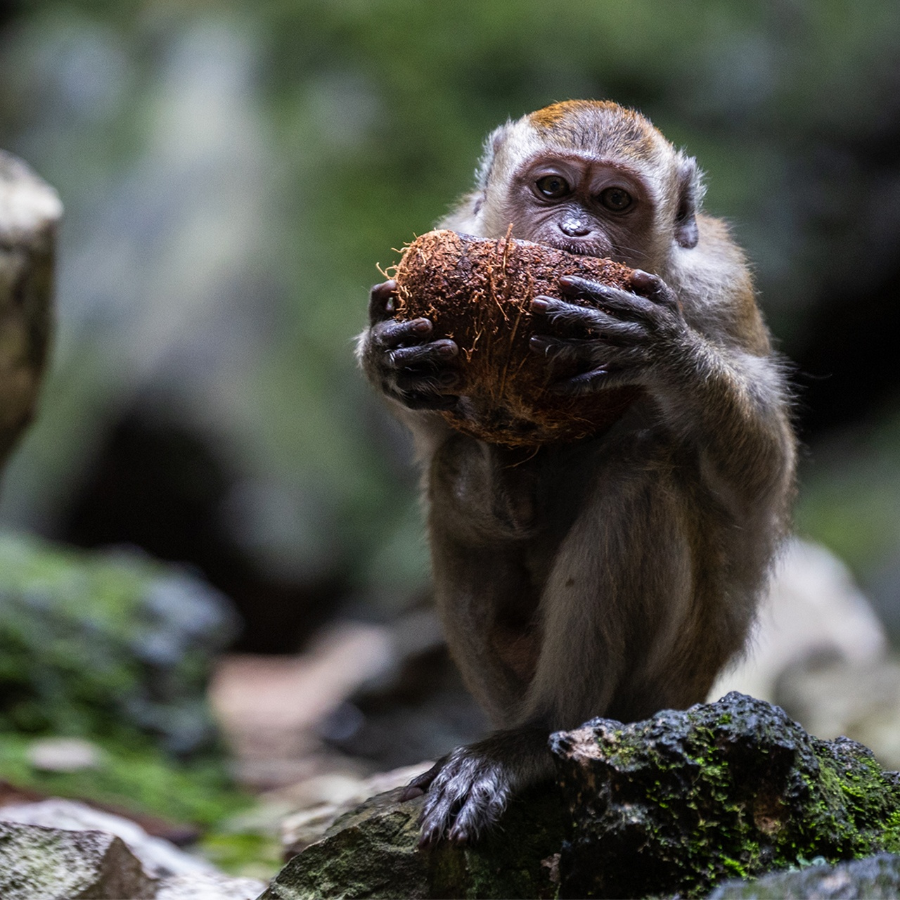 Long-Tailed Macaque Eating a Coconut