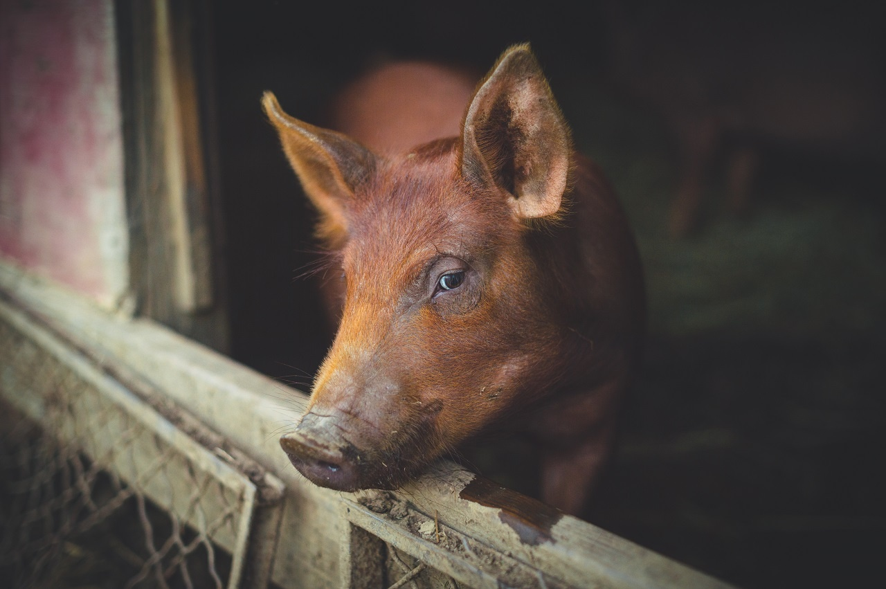 Heritage Breed Pig