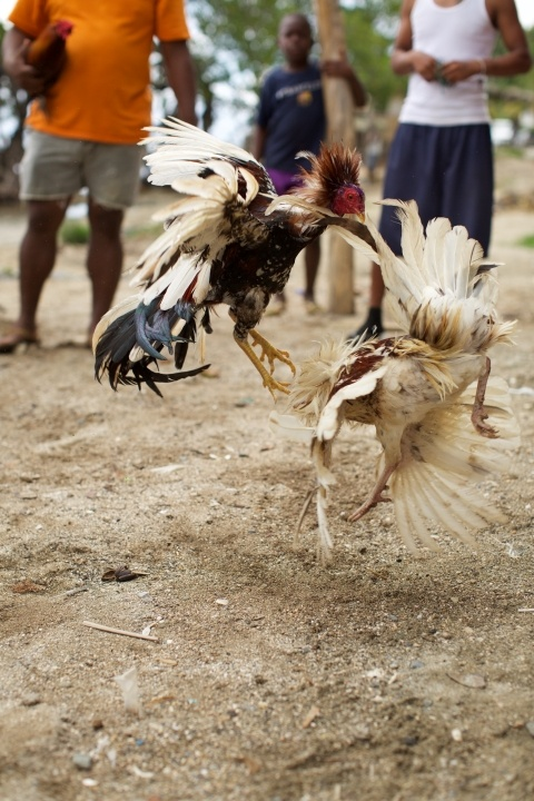 Sport of rural cock fighting
