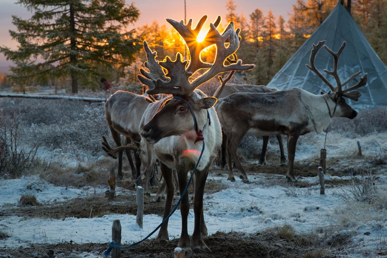 Reindeer in East Taiga, Mongolia