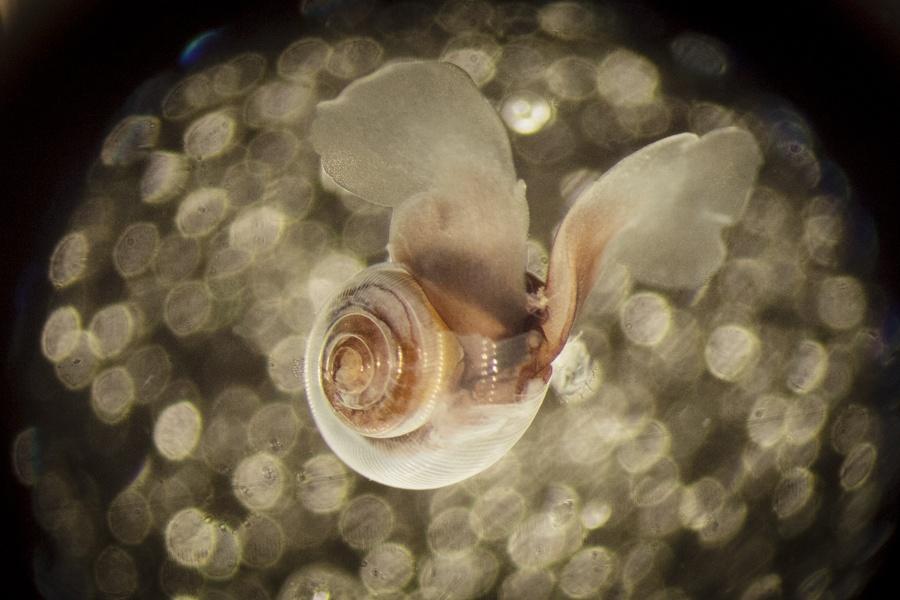 Pteropod in lab