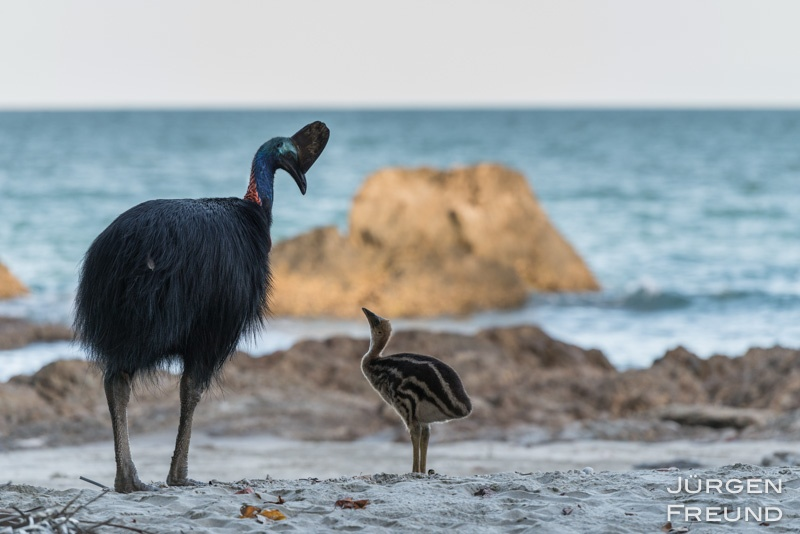 Cassowary father with chick