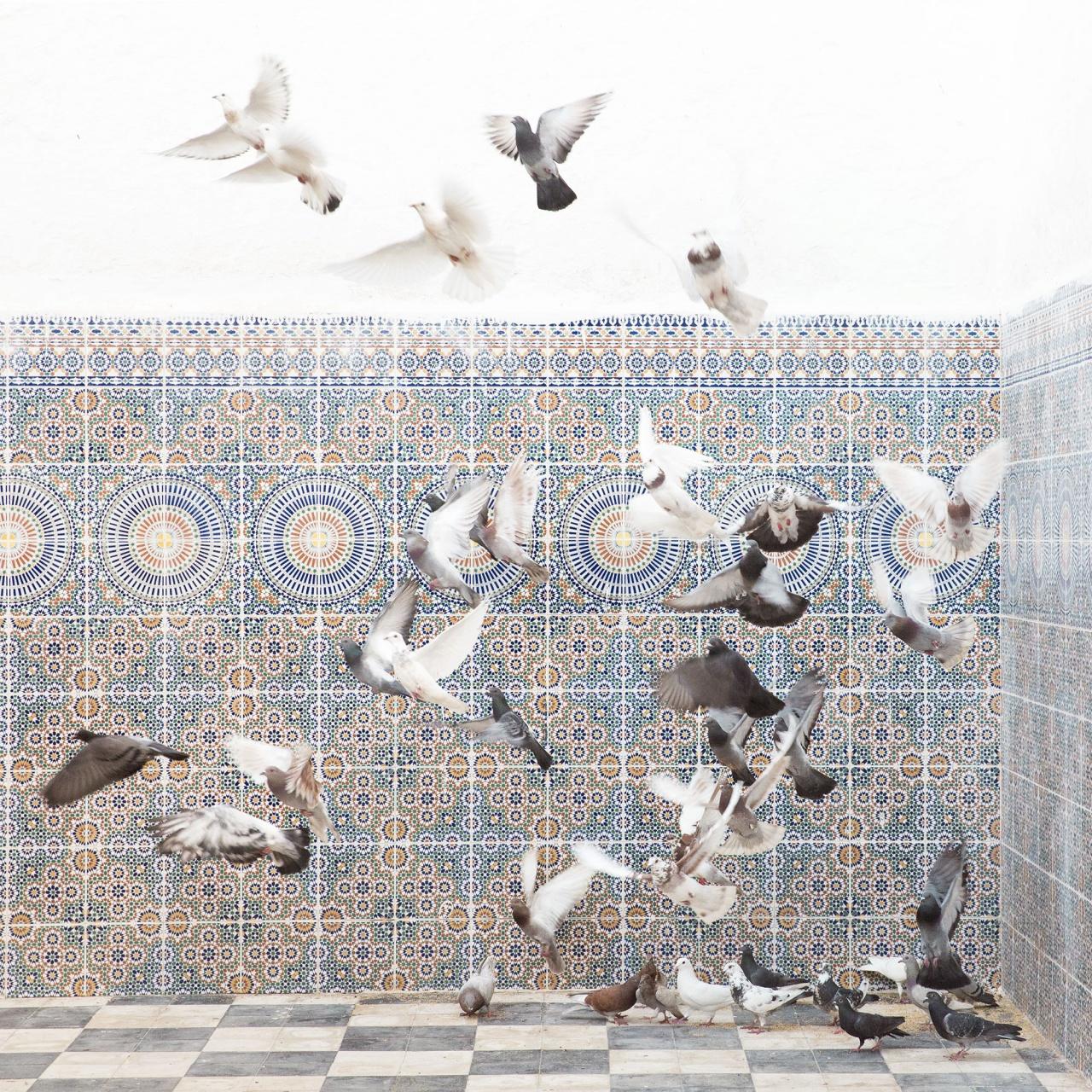 Marabout pigeons