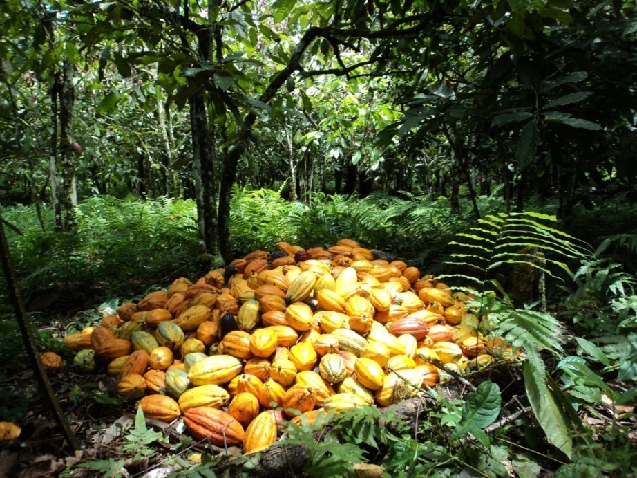 Cacao, récolte