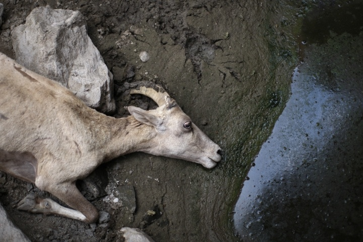 Endangered Desert Bighorn Dying by Dwindling Water