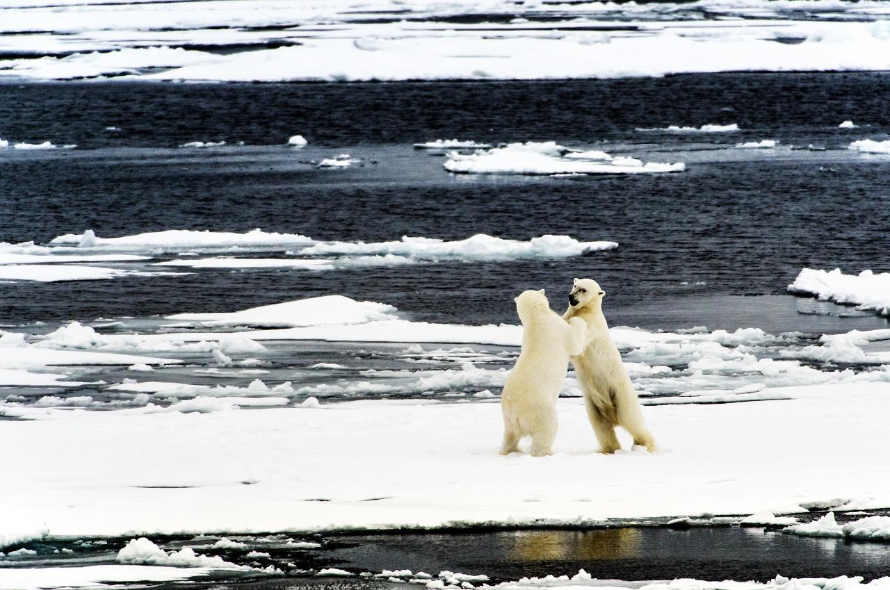 Polar Bears Off Svalbard
