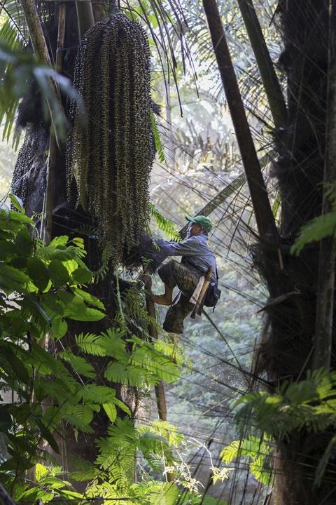 Palmiers à sucre contre palmiers à huile