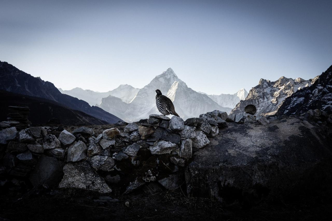 Tibetean Snow Cock, Khumbu, Nepal