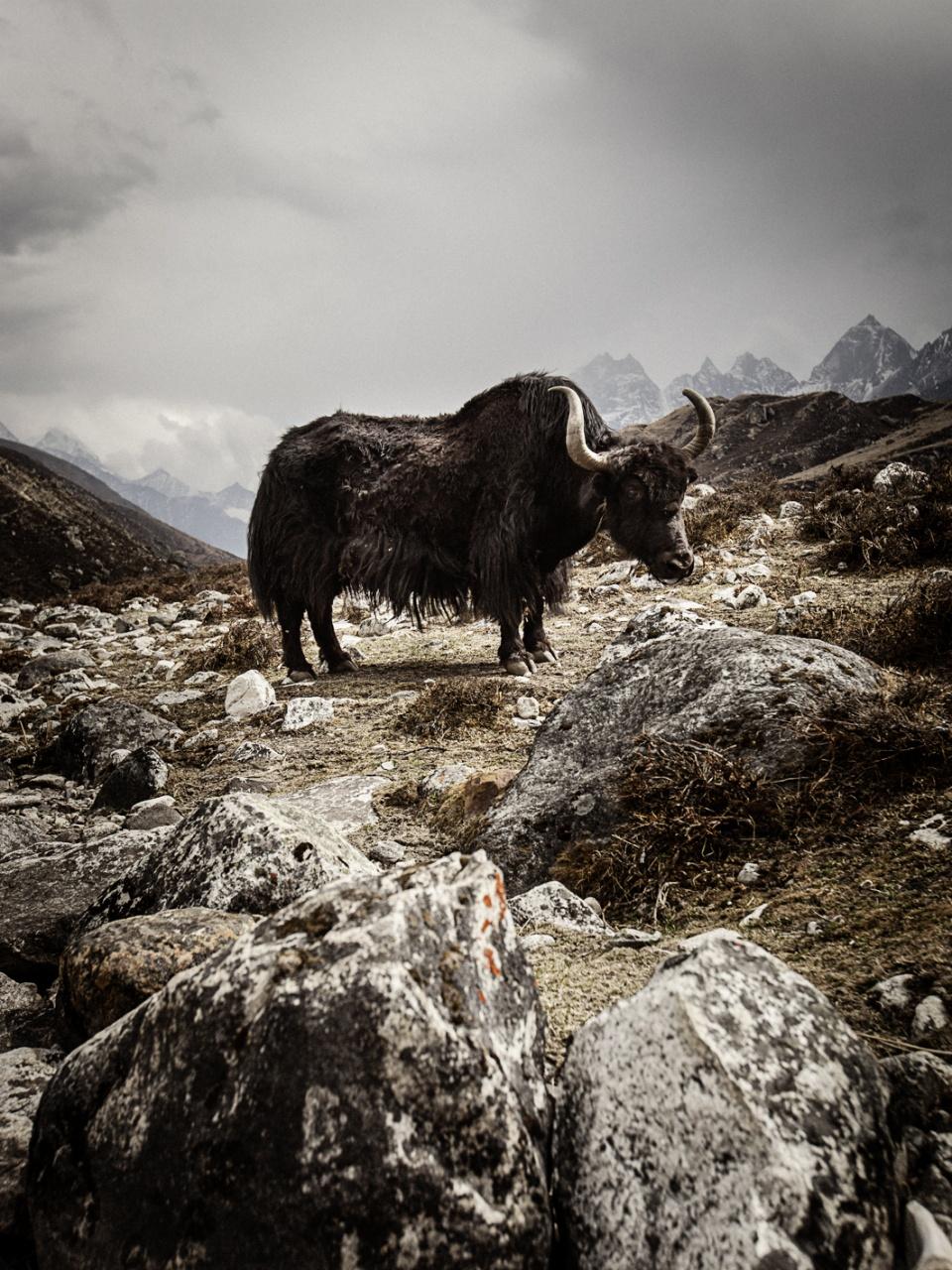 Yak, Dragnag, Khumbu, Nepal