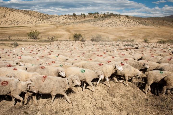 Sheep in western Colorado