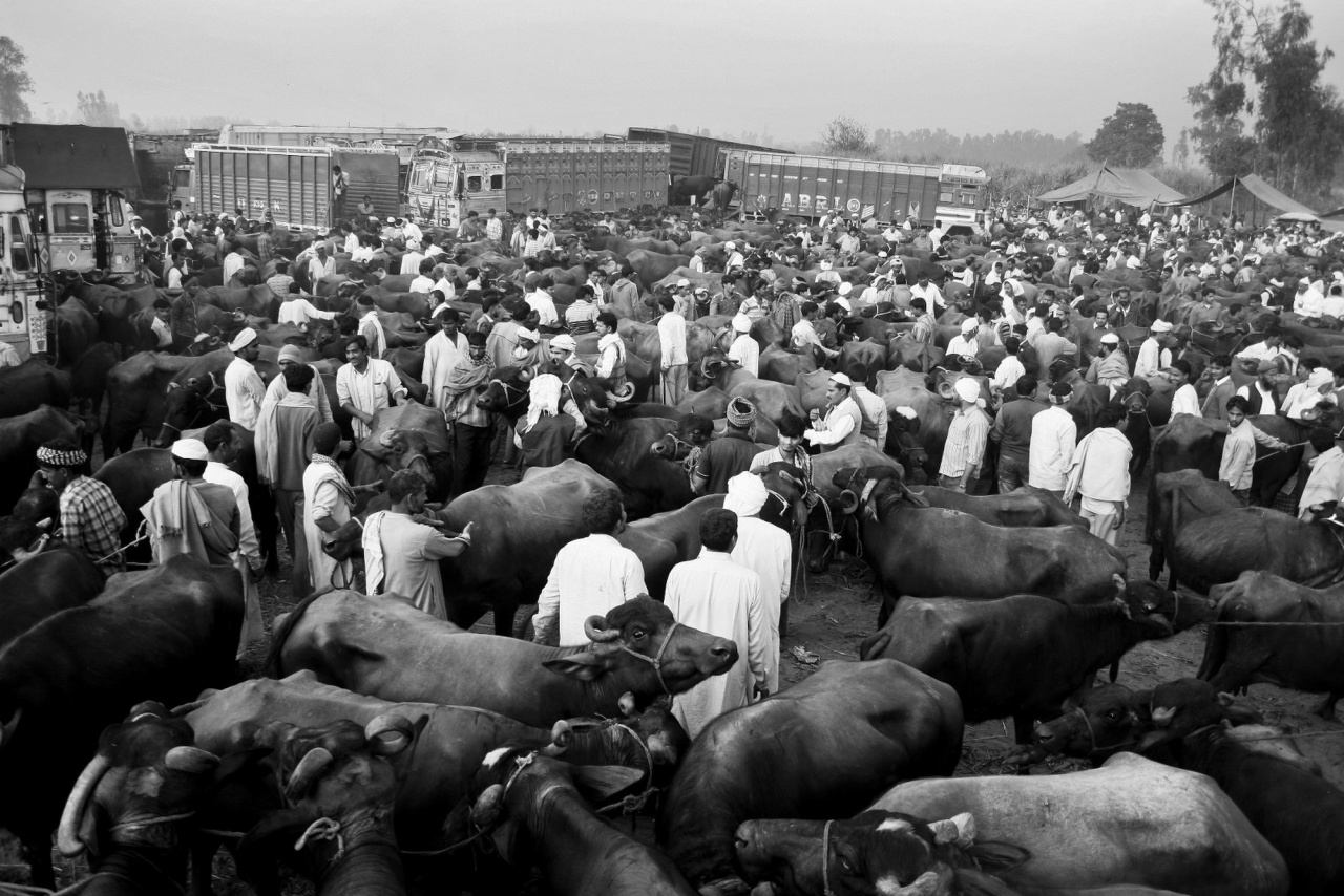 Cattle fair