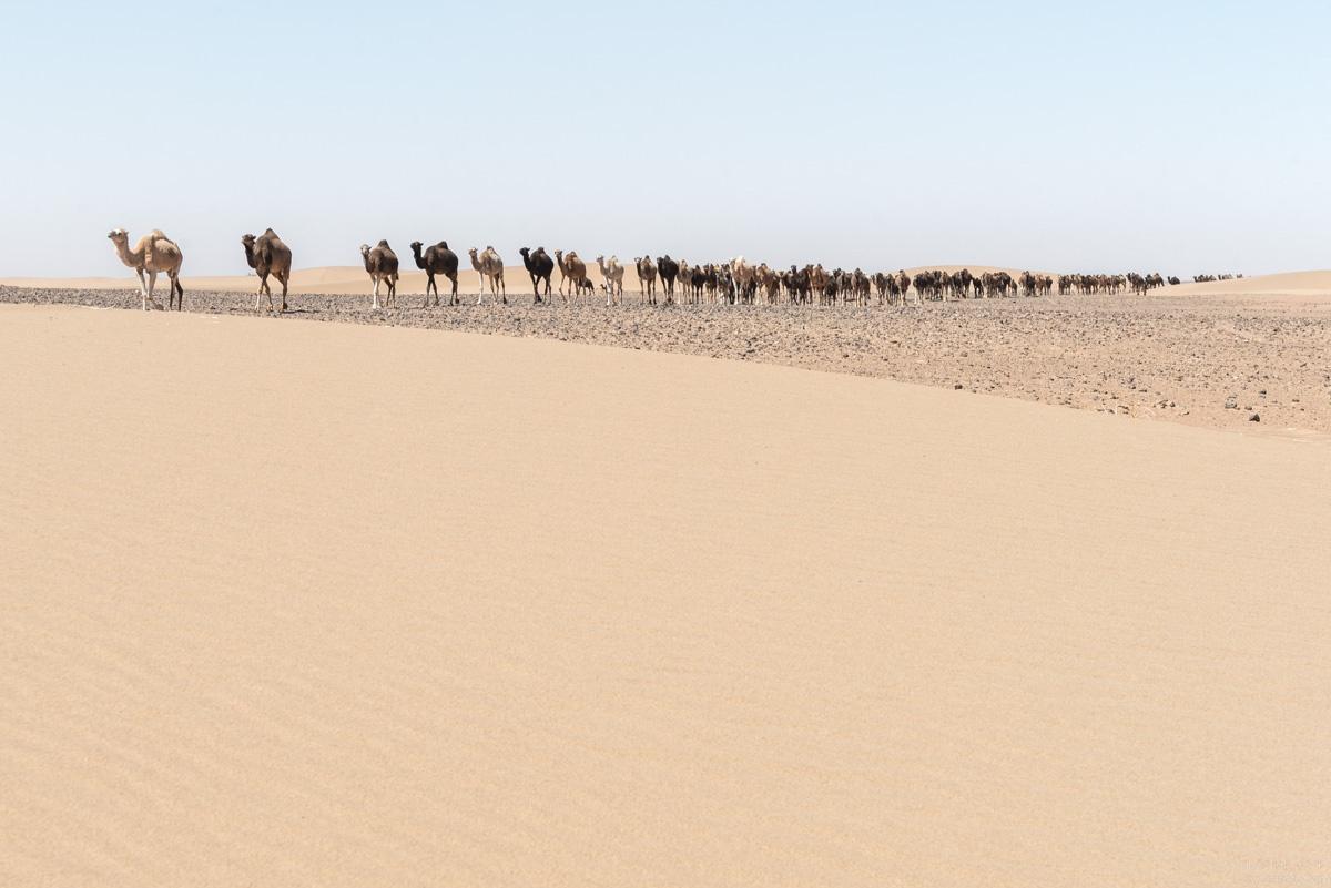 Herd of camels in the Sahara desert